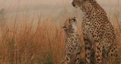 cheetah_cub_with_mom_cheetah