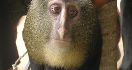 lesula_monkey