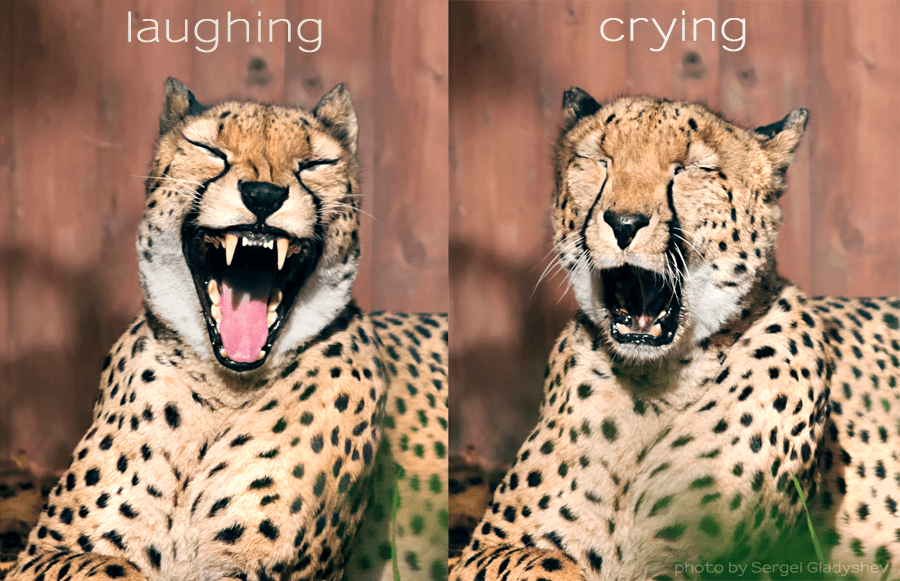laughing cheetah - photo #25