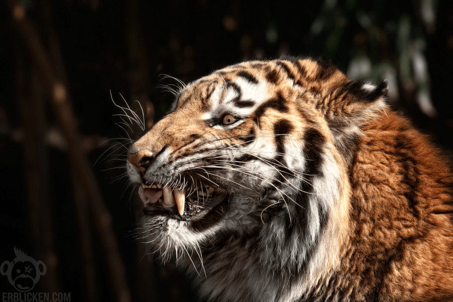 This is one angry Siberian tiger with large fangs [Amazing ...