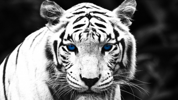 blue-eyed-white-tiger