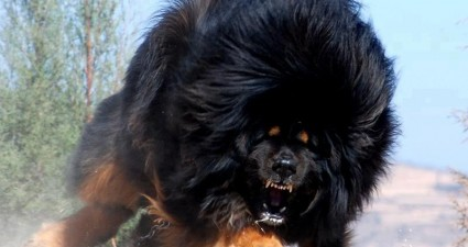 tibetan_mastiff