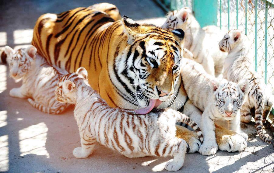 Tiger Mom And Her Cubs Amazing Photo Of The Day Dottech
