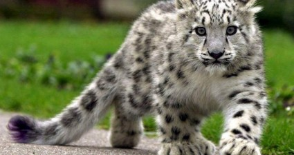snow_leopard_cub
