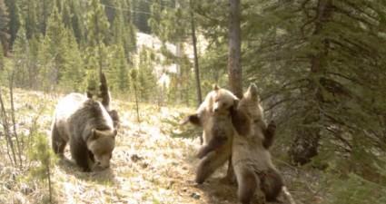 dancing_bears