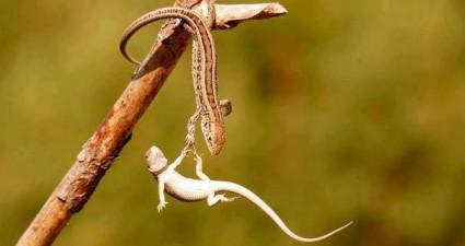 falling_lizard