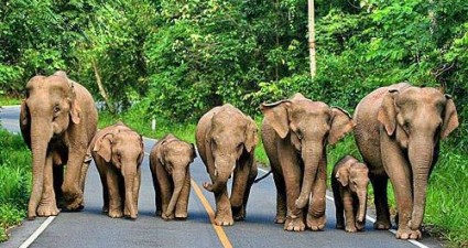 family_of_elephants