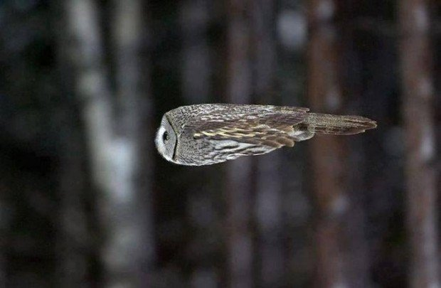 owl_mid_flight
