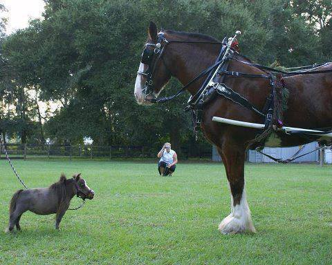 worlds_smallest_horse