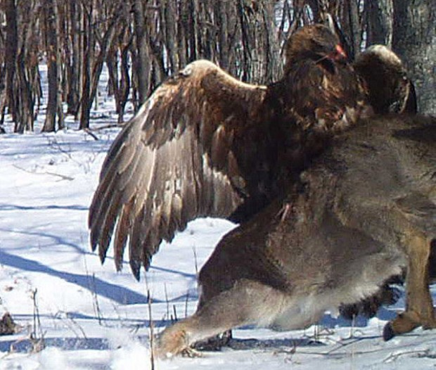 crazy_golden_eagle