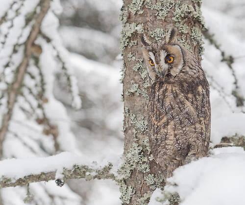 owl camo