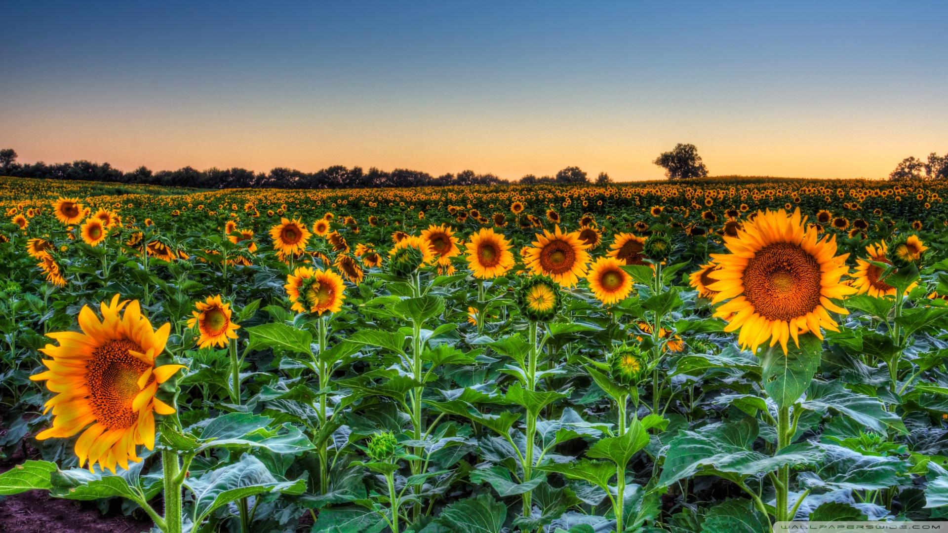 Sunflower Field Sunset Wallpaper 1920x1080 Sunflowers