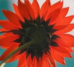 Red-Sunflower-250x443